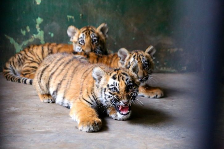 tiger cub, E K Palaniswami, chief minister, chennai, Vandalur zoo, Tamil Nadu