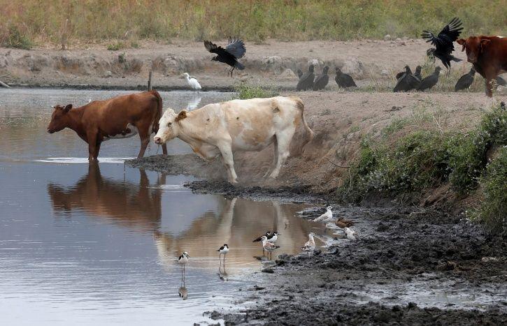 Noida, stray cows, locked, Badalpur, farmers, crops, local police, Prayagraj, Nagendra Chaubey