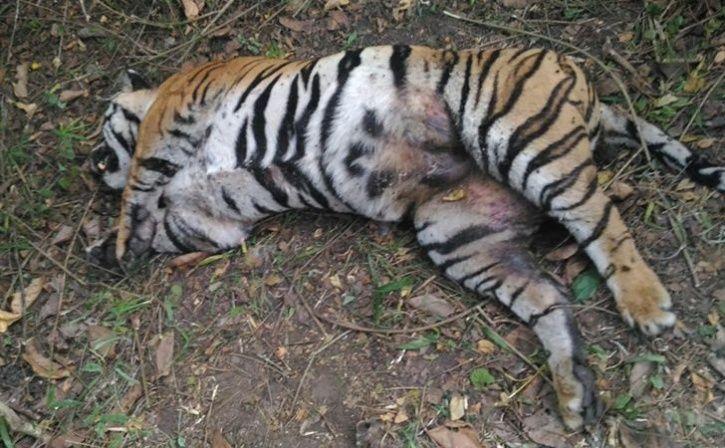 beat tigress to death