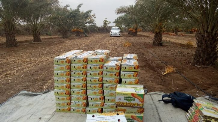 Date Palm Cultivation