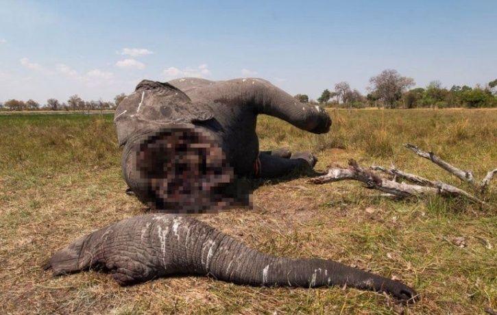 elephant killing