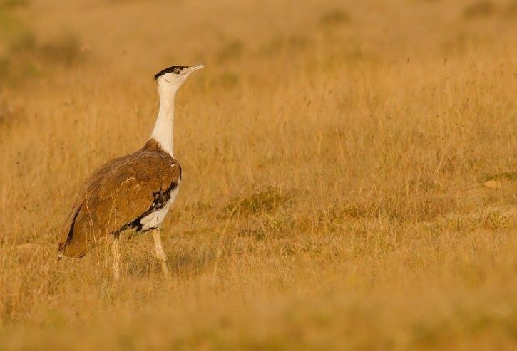 Govt Initiates Project To Save Critically Endangered The Great Indian Bustard, Only 130 Remaining