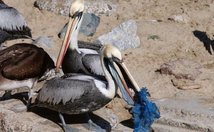 A pelican tries to eat a piece of fish entangled in a plastic mesh