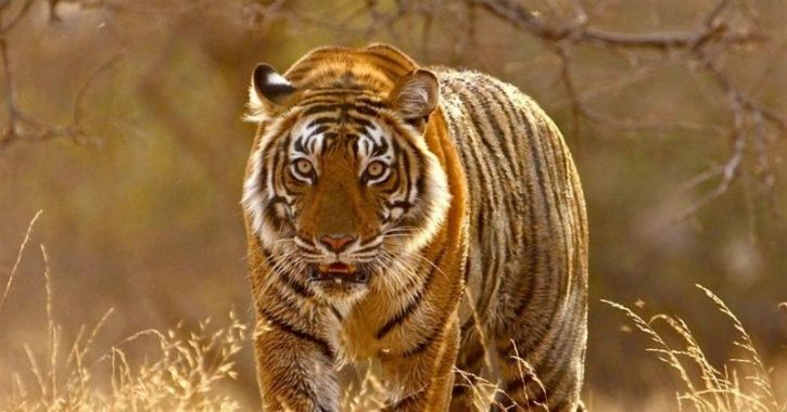 Adult Tiger Dies At Sariska Reserve Leaving Only One Male Tiger For Eight Tigresses