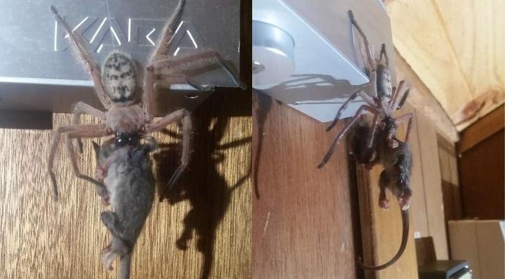 hunstman spider