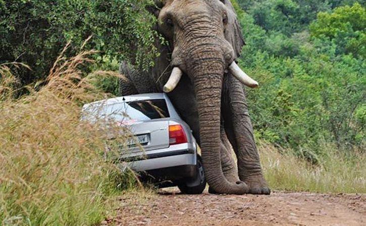 Jumbos Push Cars Away To Let Herd Pass