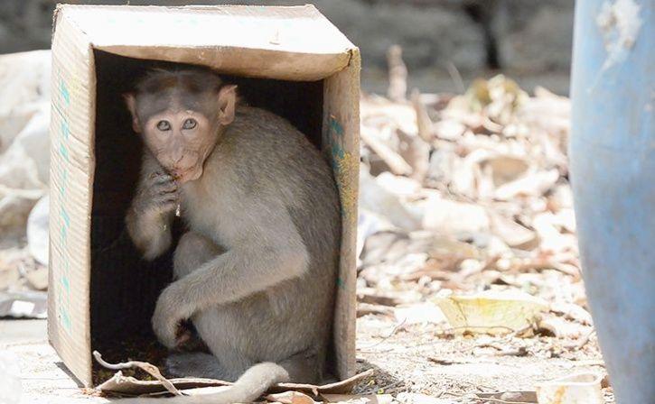 monkey mango feast