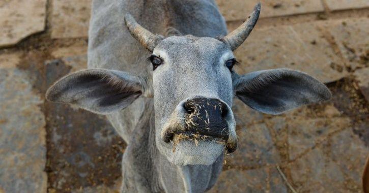 smart cowsheds