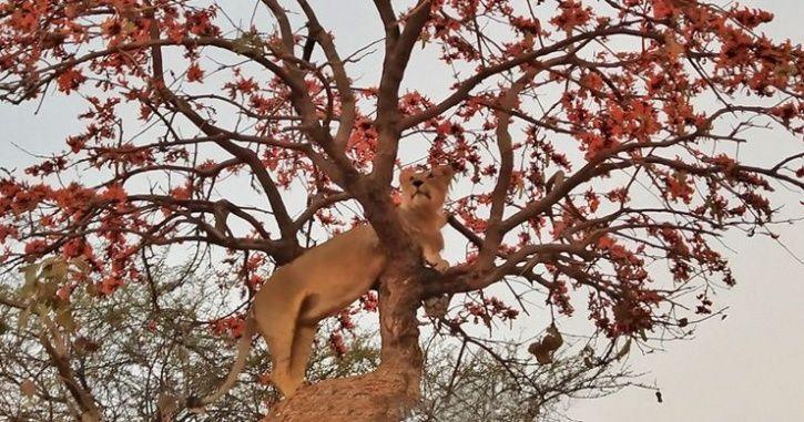Asiatic Gir Lion