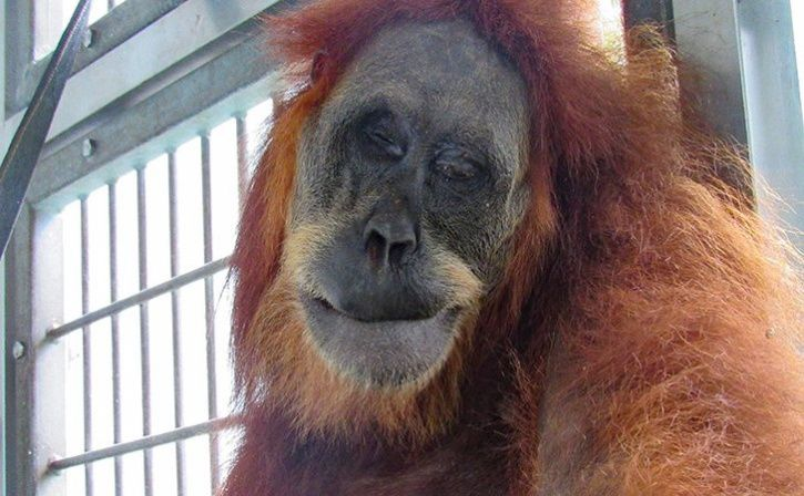 Orangutan Shot With 74 Airgun Pellets In Indonesia Recovers