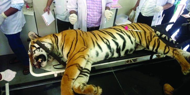 T4 tigress, Maharashtra, Yavatmal, Injured, tranquilisation, frail, camera, Tipeshwar
