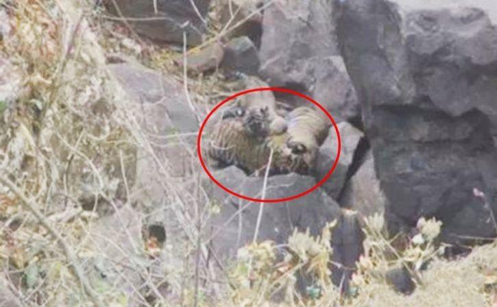 11 tiger cub in madhya pradesh forests