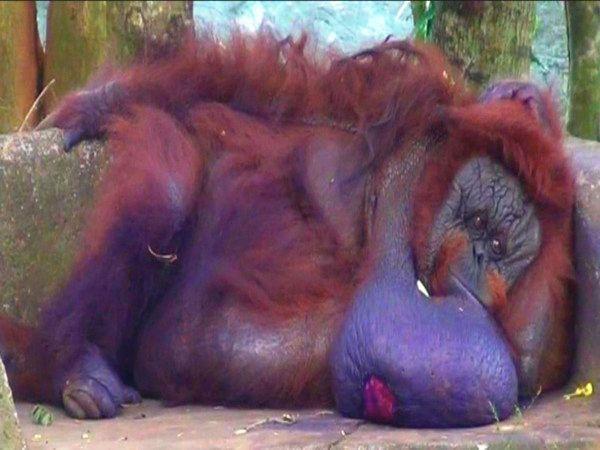 41-Year-Old Binny, India's Only Orangutan, Dies In Odisha Zoo Of Prolonged Illness