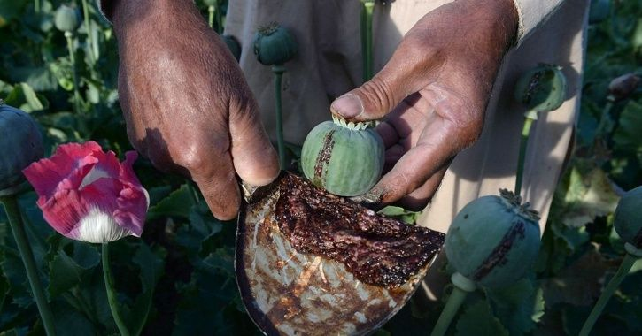 Amid Addiction Issues, Sitting MPs And Farmers Demand Legalising Opium Cultivation In Punjab