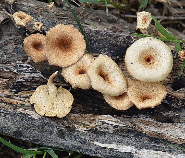 Lentinus tuber regium