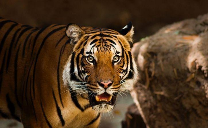 maneating tigress shot dead