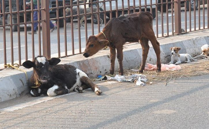 Owners Of Cattle Straying On Roads In Gujarat Get Three Months Jail