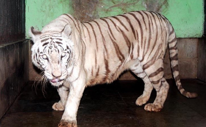 white tiger bajirao