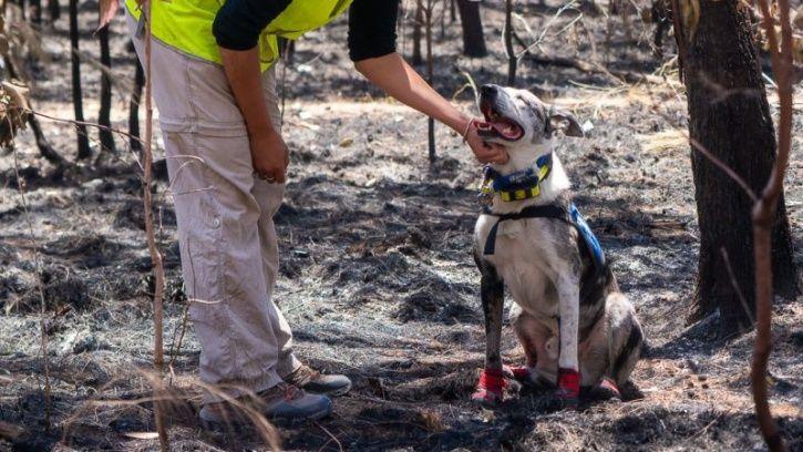 Not Just Humans, Heroic Dogs Are Saving Injured Koalas From Australian Bushfires