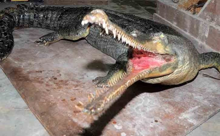 Gharial Stoned To Death By Chirang Villagers