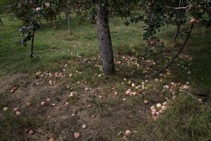 Kashmir Apple Trade