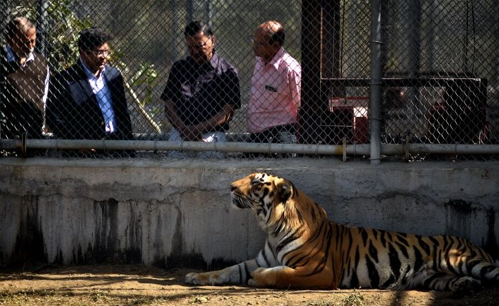 Nagpur Tiger