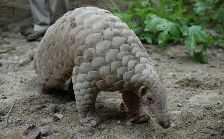 rare Indian Pangolin