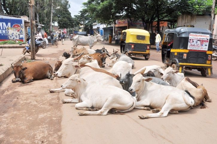 Adopt Cows