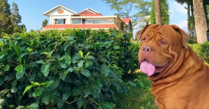 Meet Bruce, A French Mastiff, Who Is Living The Lavish Life You Can Only Dream Of