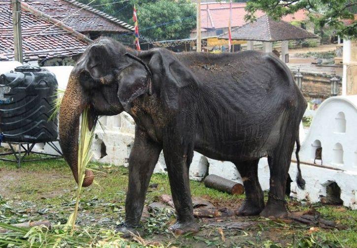 Starving elephant