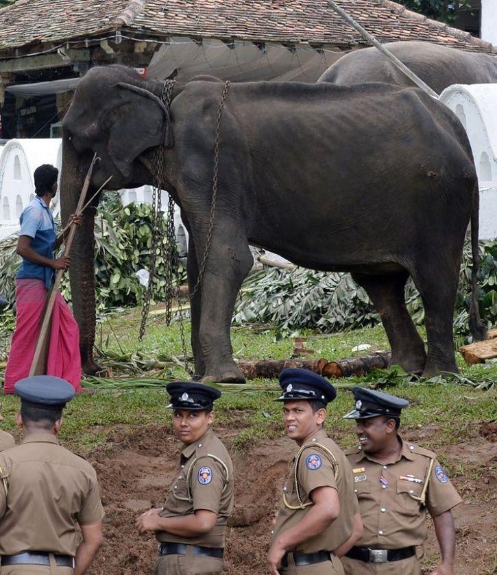 tikiri elephant sri lanka