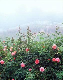 Amazing Rose Farms
