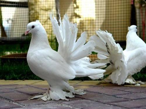 Columbidae-Pigeons