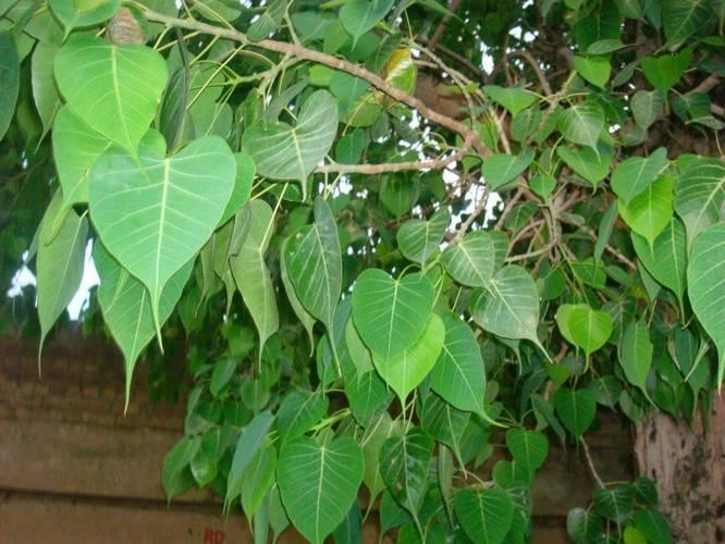 Peepal Tree Health Benefits
