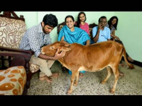 Guinness World Records Proudly Held By Indians - World's Shortest Cow