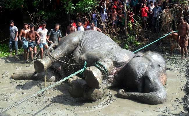 Assam Floods: Elephant Who Travelled 1,000 Kms From India To Bangladesh Passes Away