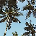 Coconut Tree Is Important To Goa