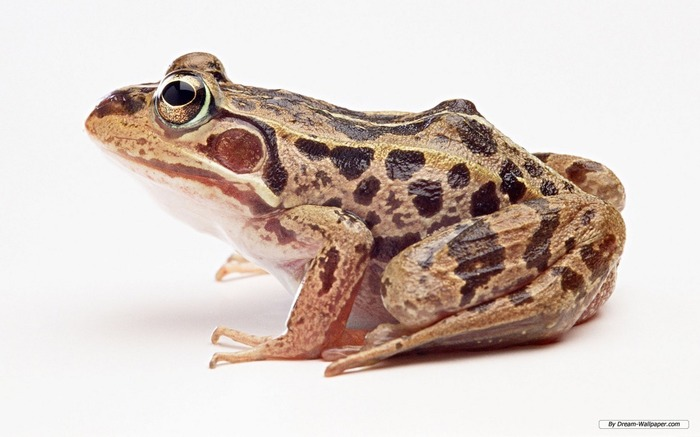 Frogs Are Pretty Human Friendly Amphibians