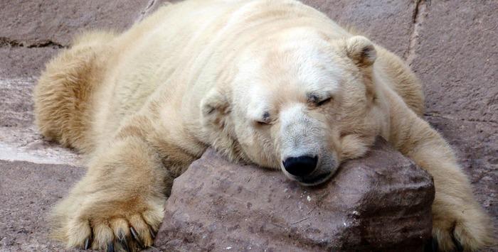 Arturo The Saddest Polar Bear Passes Away!