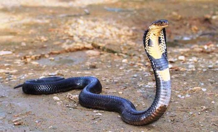 Five-Foot-Long Cobra Rescued From Educational Institute In Delhi