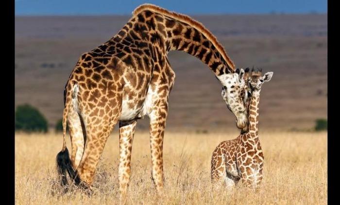 Giraffes Suffering 'Silent Extinction'; Says Wildlife Advocates