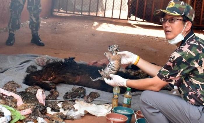 Thailand Temple: 40 Tiger Cubs Found Dead In Freezer