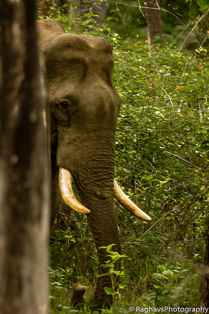 TUSKER VS ELEPHANT
