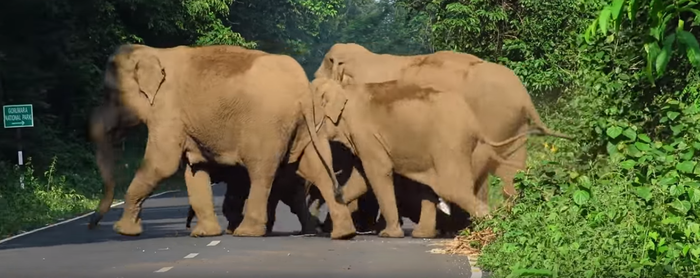 Here's How This Elephant Cleared A Road To Let His Family Cross It!