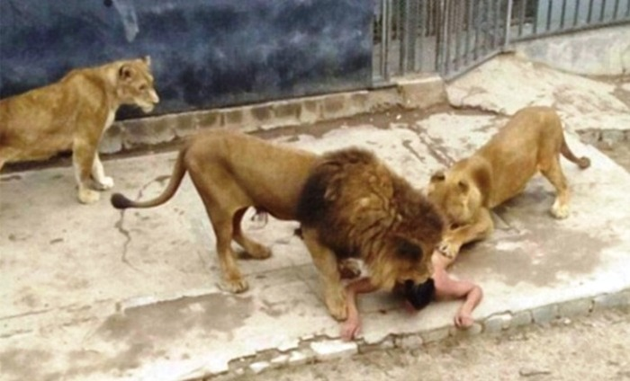 Chile: Suicidal Man Jumps Into A Lion Enclosure At A Zoo; Authorities Kill The Lions