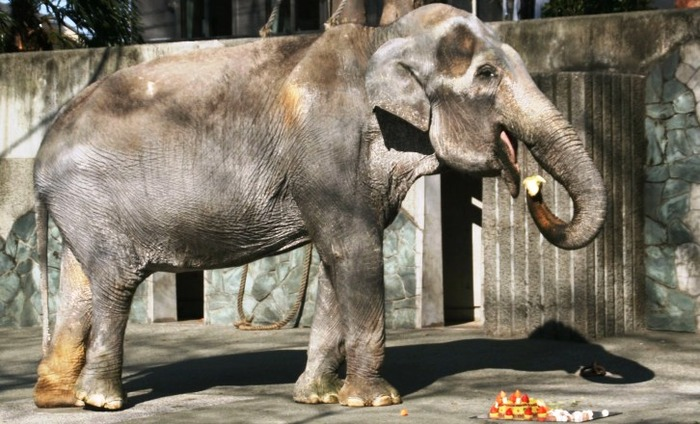 World's Oldest Elephant Passes Away In Japan At 69!