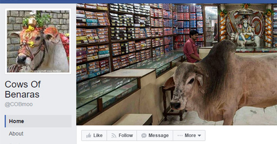 Here Is Why Cows Of Benaras Is The Funniest Facebook Page In India!