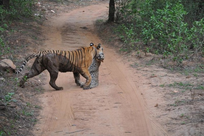 Shocking Pictures Of A Leopard Becoming A Tiger's Prey In Sariska