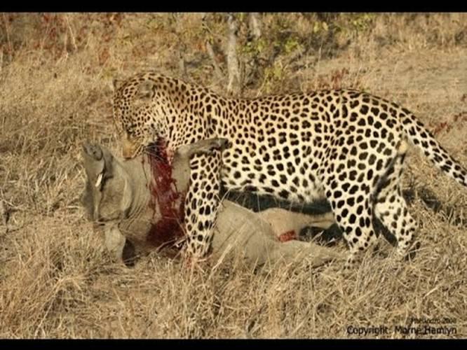 THE TOP 10 || TOP 10 LEOPARD ATTACKS || Leopard Vs Cheetah