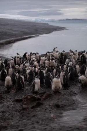 Chinstrap Penguins Of Antarctica